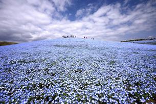 ひたち海浜公園 ネモフィラの丘の写真素材 [FYI04842890]