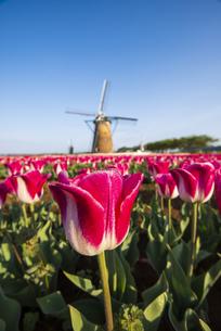 佐倉ふるさと広場 朝露輝くチューリップお花畑と風車の写真素材 [FYI04842933]