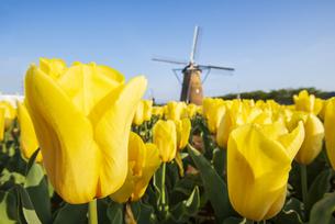 佐倉ふるさと広場 水滴輝く黄色いチューリップお花畑と風車の写真素材 [FYI04842940]