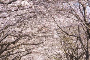 大分川河川敷の桜並木の写真素材 [FYI04842953]