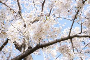 大分川河川敷の桜並木の写真素材 [FYI04842955]