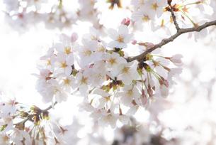 満開の桜の写真素材 [FYI04842958]