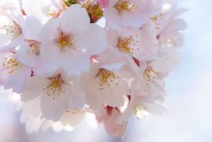 満開の桜の写真素材 [FYI04842963]