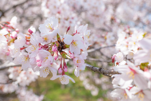 満開の桜の写真素材 [FYI04842966]