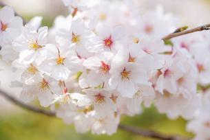 満開の桜の写真素材 [FYI04842974]