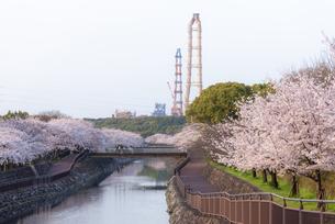 平和市民公園の桜の写真素材 [FYI04842976]