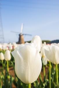 佐倉ふるさと広場 朝露輝く白い色のチューリップお花畑と風車の写真素材 [FYI04842978]