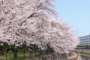 大分市裏川沿いの桜並木の写真素材 [FYI04842998]