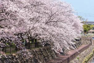 大分市裏川沿いの桜並木の写真素材 [FYI04843001]