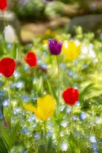 花壇のチューリップとネモフィラの写真素材 [FYI04843083]