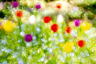 庭に咲くチューリップとネモフィラのコラボの写真素材 [FYI04843086]