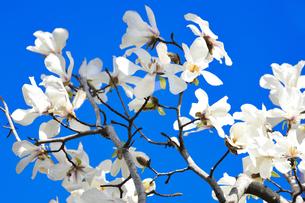 コブシ(モクレン科モクレン属の落葉広葉樹の高木)の白い花と幹と枝の写真素材 [FYI04843236]