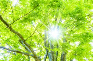 新緑の木と光の写真素材 [FYI04843254]