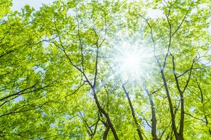 新緑の木と光の写真素材 [FYI04843259]