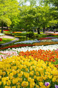春のチューリップの写真素材 [FYI04843365]