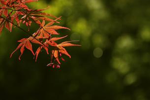 春に赤く芽吹く春モミジ  千染の写真素材 [FYI04843439]