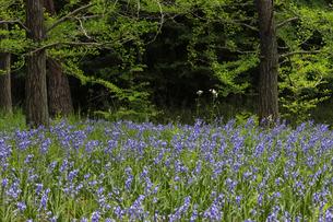 シラーの花 国営武蔵丘陵森林公園の写真素材 [FYI04843499]