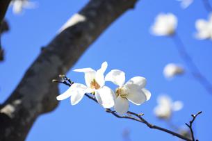 コブシ(モクレン科モクレン属の落葉広葉樹の高木)の白い花と幹と枝と空の写真素材 [FYI04843519]