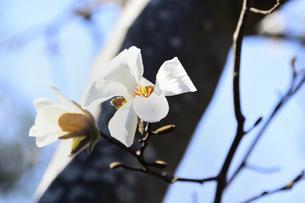 コブシ(モクレン科モクレン属の落葉広葉樹の高木)の白い花と幹と枝と空の写真素材 [FYI04843525]