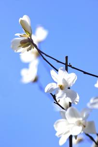 コブシ(モクレン科モクレン属の落葉広葉樹の高木)の白い花と枝と空の写真素材 [FYI04843526]