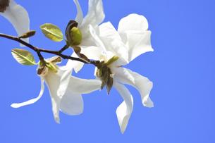 コブシ(モクレン科モクレン属の落葉広葉樹の高木)の白い花と枝と空の写真素材 [FYI04843527]