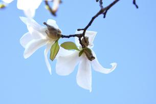 コブシ(モクレン科モクレン属の落葉広葉樹の高木)の白い花と枝と空の写真素材 [FYI04843528]