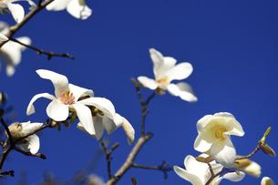 コブシ(モクレン科モクレン属の落葉広葉樹の高木)の白い花とつぼみと枝と空の写真素材 [FYI04843553]
