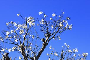 コブシ(モクレン科モクレン属の落葉広葉樹の高木)の白い花と幹と枝と空の写真素材 [FYI04843559]