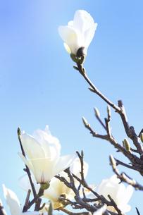 白モクレン(モクレン目モクレン科モクレン属の落葉低木)の花と枝の写真素材 [FYI04843560]