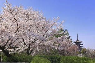 八坂の塔と桜 京都の写真素材 [FYI04843589]