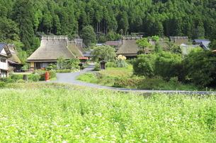 ソバの花咲く美山かやぶきの里 の写真素材 [FYI04843593]