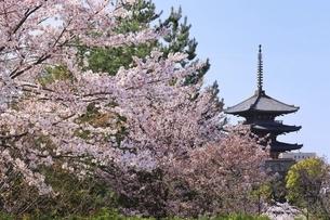 八坂の塔と桜 京都の写真素材 [FYI04843597]
