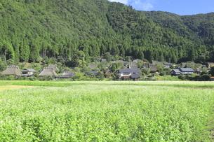 ソバの花咲く美山かやぶきの里 の写真素材 [FYI04843598]