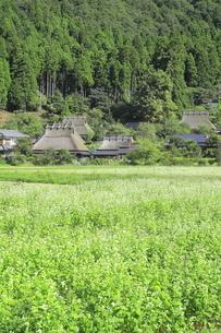 ソバの花咲く美山かやぶきの里 の写真素材 [FYI04843599]