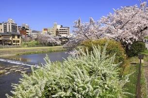 桜咲く鴨川河川敷 花の回廊の写真素材 [FYI04843622]