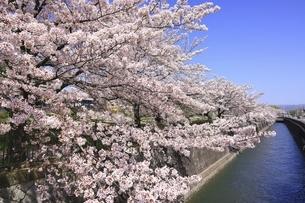 桜咲く鴨川河川敷 花の回廊の写真素材 [FYI04843654]