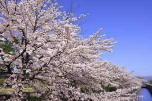 桜咲く鴨川河川敷 花の回廊の写真素材 [FYI04843655]