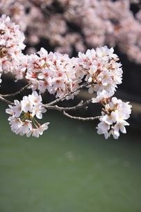 サクラの花の写真素材 [FYI04843660]