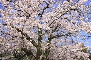京都 冷泉通りの桜の写真素材 [FYI04843669]