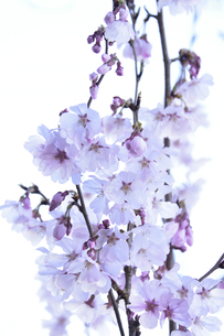 サクラ(バラ科サクラ亜科サクラ属の落葉広葉樹)の花とつぼみと枝の写真素材 [FYI04843727]