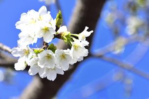 サクラ(バラ科サクラ亜科サクラ属の落葉広葉樹)の花と枝と幹と空の写真素材 [FYI04843733]