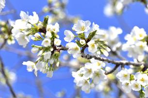 サクラ(バラ科サクラ亜科サクラ属の落葉広葉樹)の花と枝とつぼみと空の写真素材 [FYI04843734]