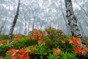 美ヶ原の白樺とレンゲツツジの写真素材 [FYI04843777]