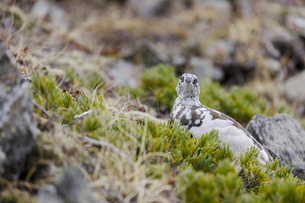 北アルプス爺ガ岳に生息する雷鳥の写真素材 [FYI04843799]