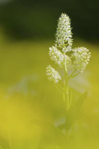 千畳敷カールに咲くコバイケイソウの写真素材 [FYI04843806]