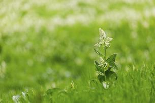 千畳敷カールに咲くコバイケイソウの写真素材 [FYI04843807]