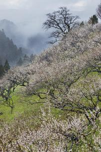賀名生梅園の霧漂う梅林の写真素材 [FYI04843808]