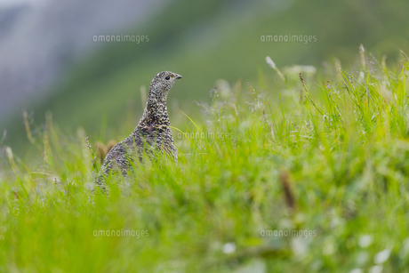 北アルプス白馬岳で生息するニホンライチョウの写真素材 [FYI04843809]