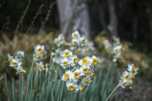 水仙の花(白色)の写真素材 [FYI04843811]