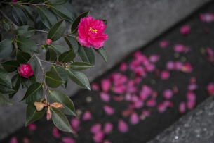サザンカの花(散り花)の写真素材 [FYI04843812]